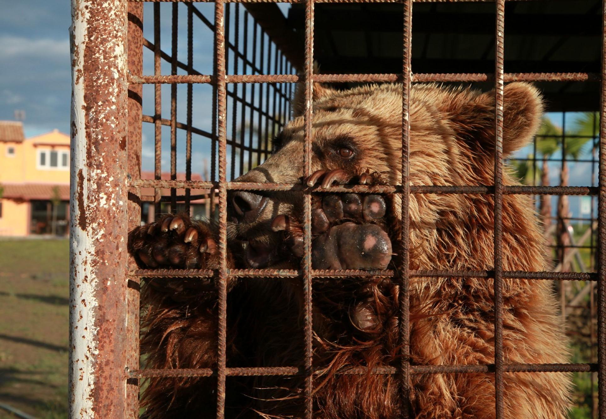 Un ours en cage en Albanie