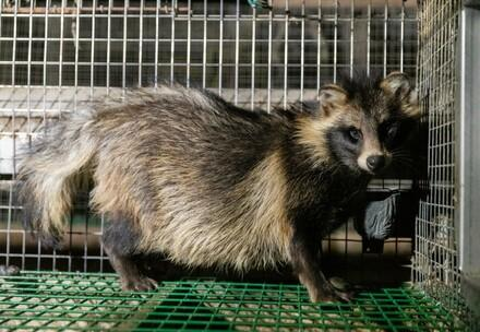 Raccoon dog in a fur farm