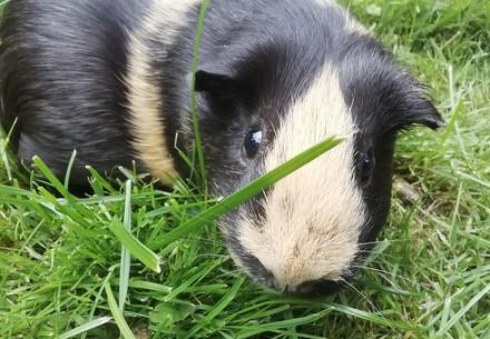L'environnement naturel d'un cochon d'Inde