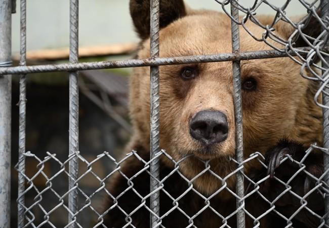Die Bären waren in Albanien in einem nicht artgemäßen Käfig. (c) VIER PFOTEN