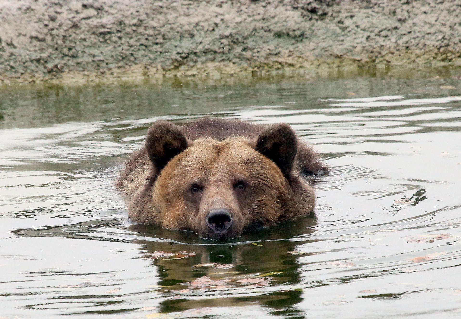 Bear Manya