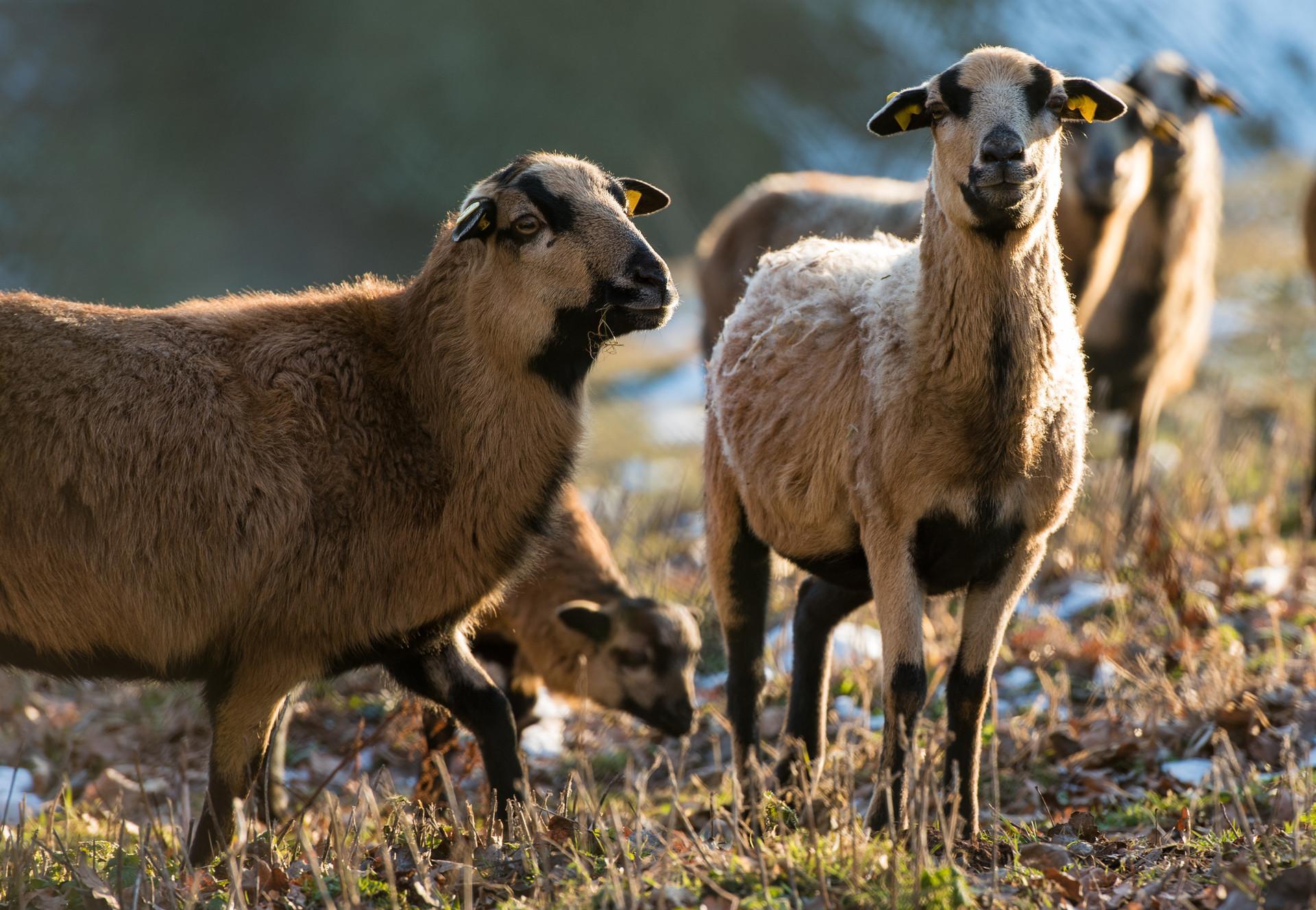 Schafe im Freien bei TIERART