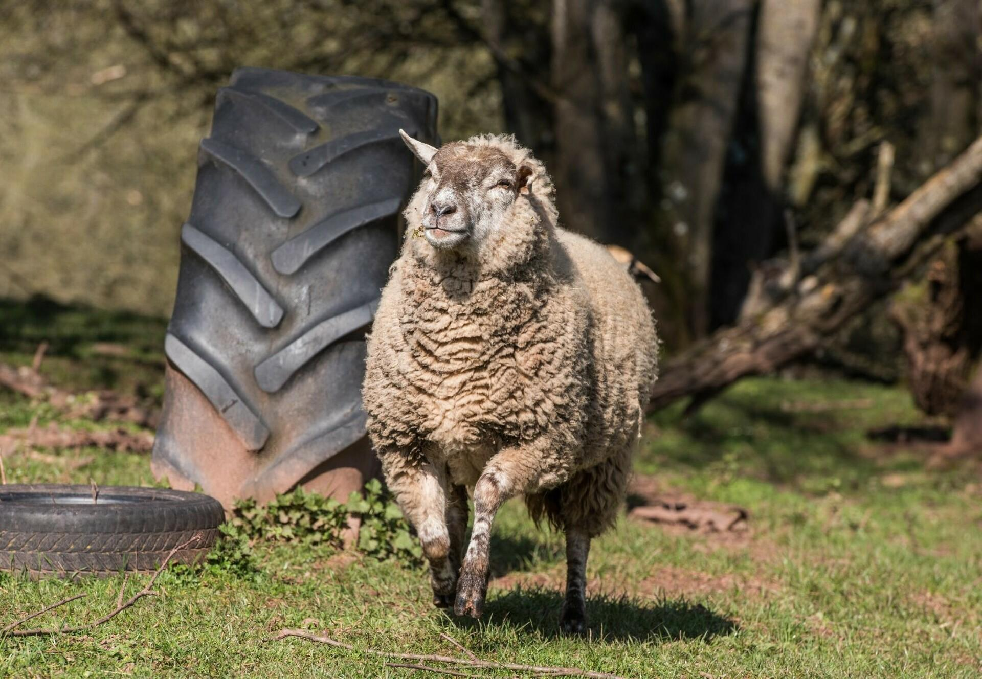 Un mouton dans la station de protection QUATRE PATTES TIERART