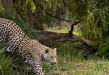 Leopard Thulani