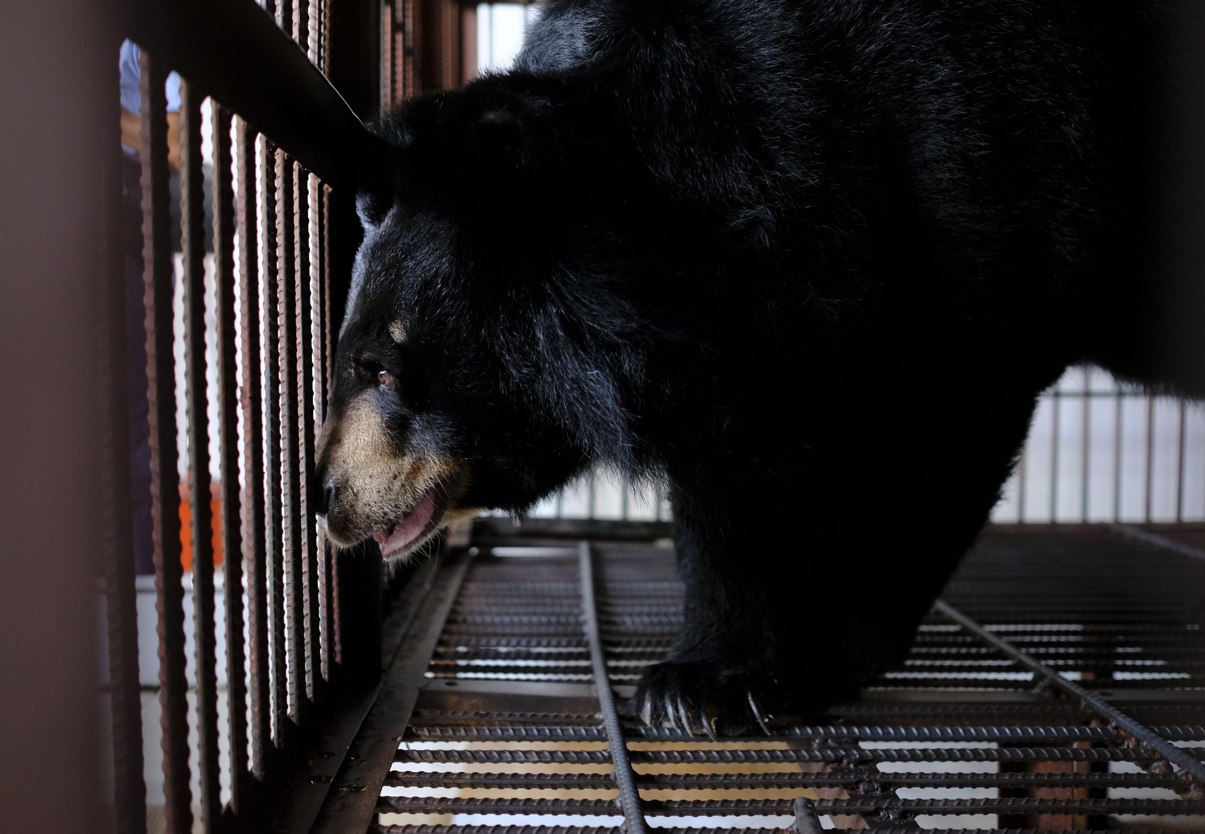 sauvetage de QUATRE PATTES menée au Vietnam : sept ours à bile sauvés