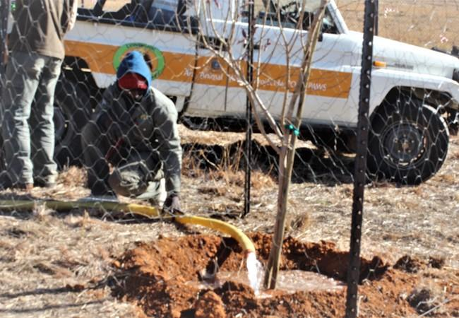 Man watering the new trees planted at the tiger enclosure