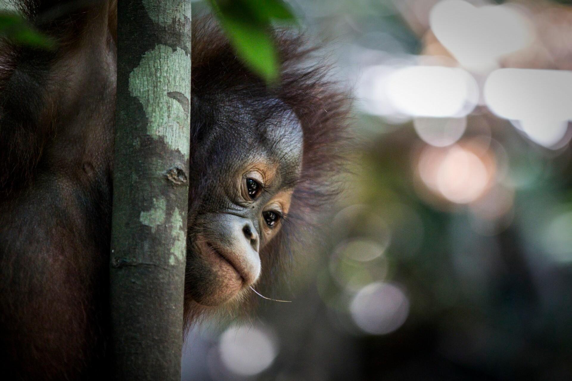 FOUR PAWS rehabilitates orphaned orangutans on Indonesian Borneo