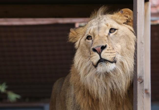 Löwe Masoud