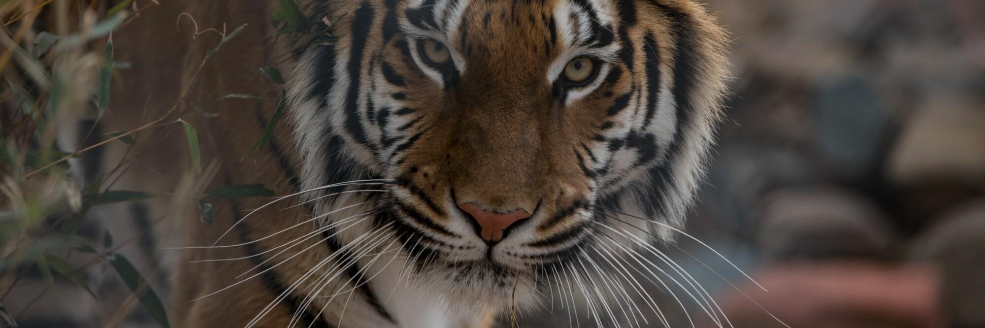 Tiger Cara