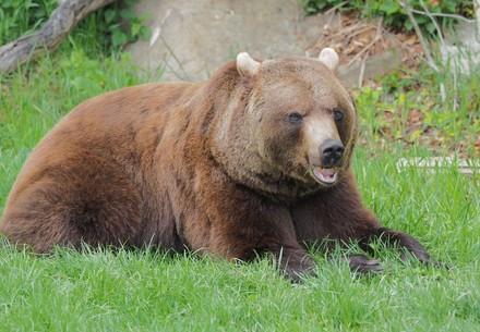 Braunbär Erich sitzt in der Wiese und frisst Gras.