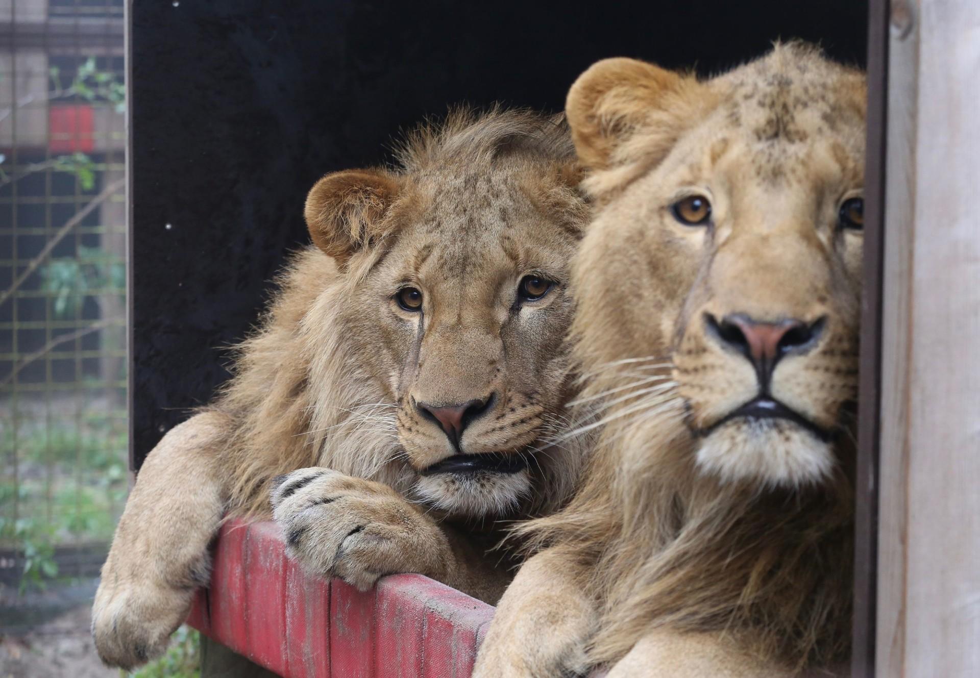 Lions Masoud and Terez at FELIDA