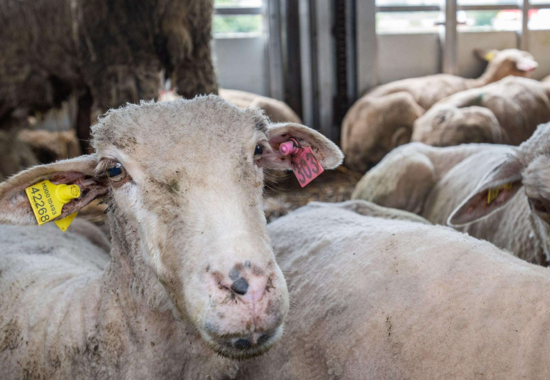 Schafe auf Tiertransport