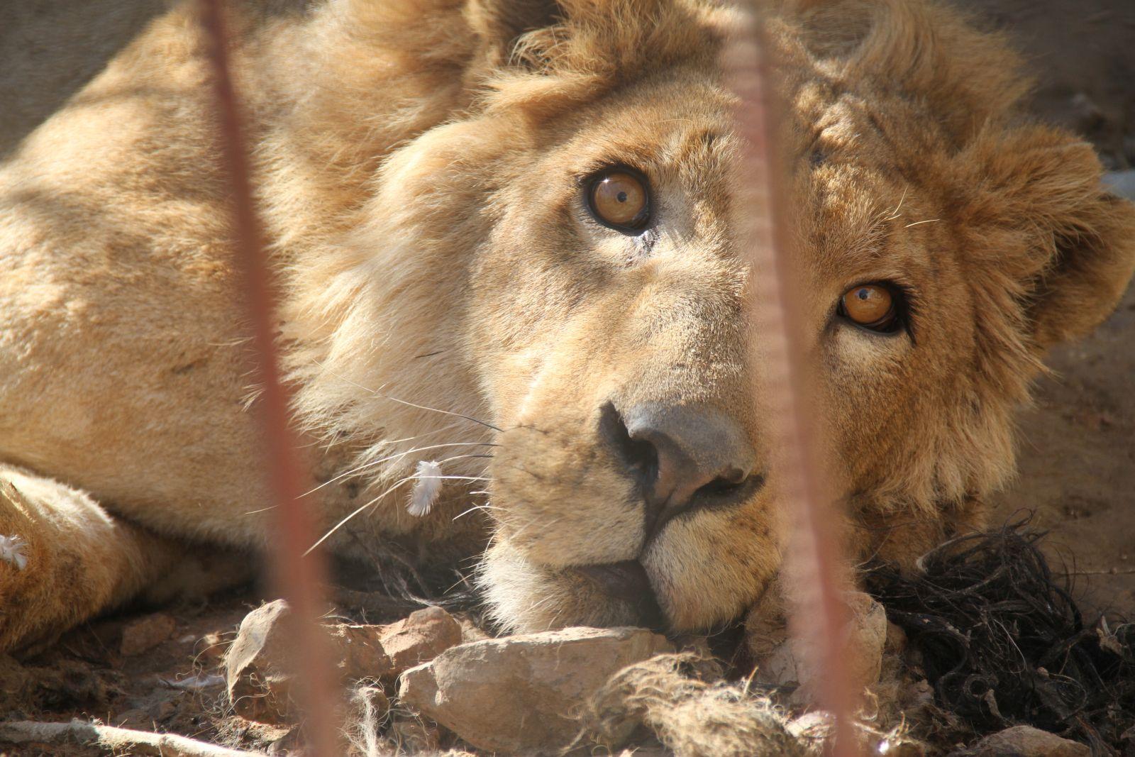 lion-cage