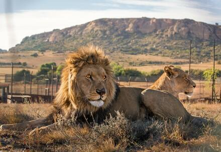 Two lions lying down with a mountain in the backdrop