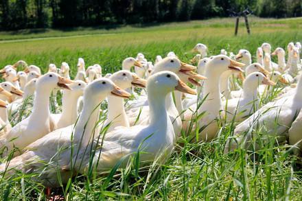 Enten in Freilandhaltung