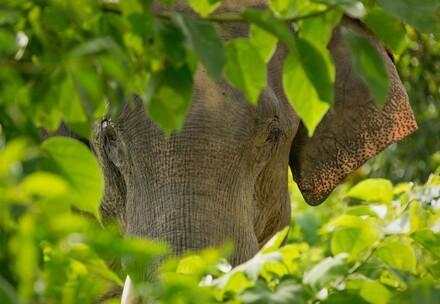 Elephant in Myanmar