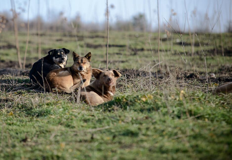 Stray dogs in Moldova