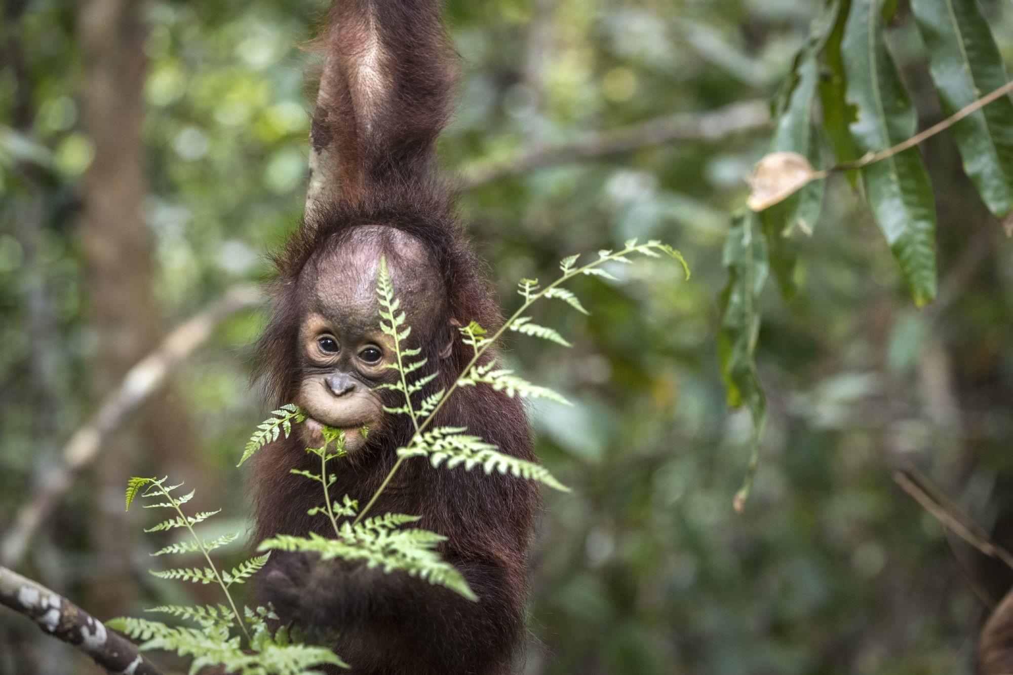 Orang-Utan-Baby Kartini im Dschungel