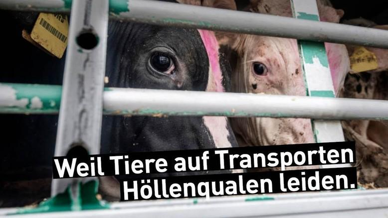 Kühe auf Tiertransport