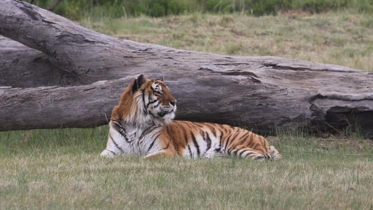 Die Geschichte von Tiger Caruso