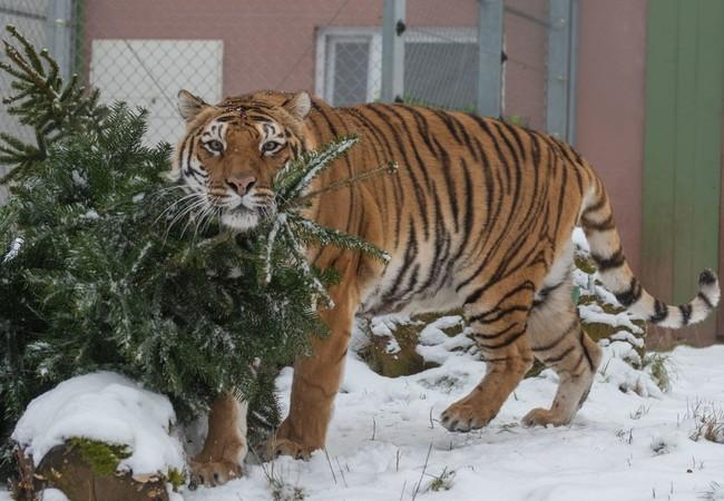 Varvara in TIERART Big Cat Centre