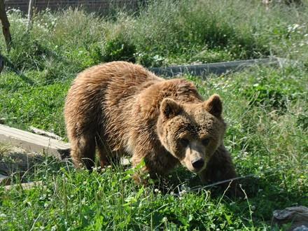 Bear Nala
