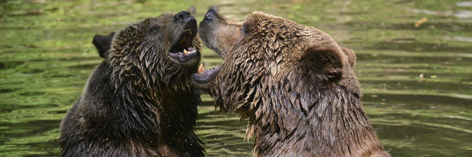 Bears in our sanctuaries