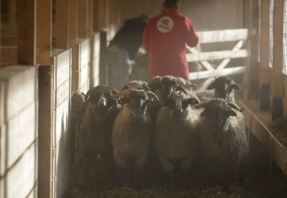 Surviving sheep arrive at new home