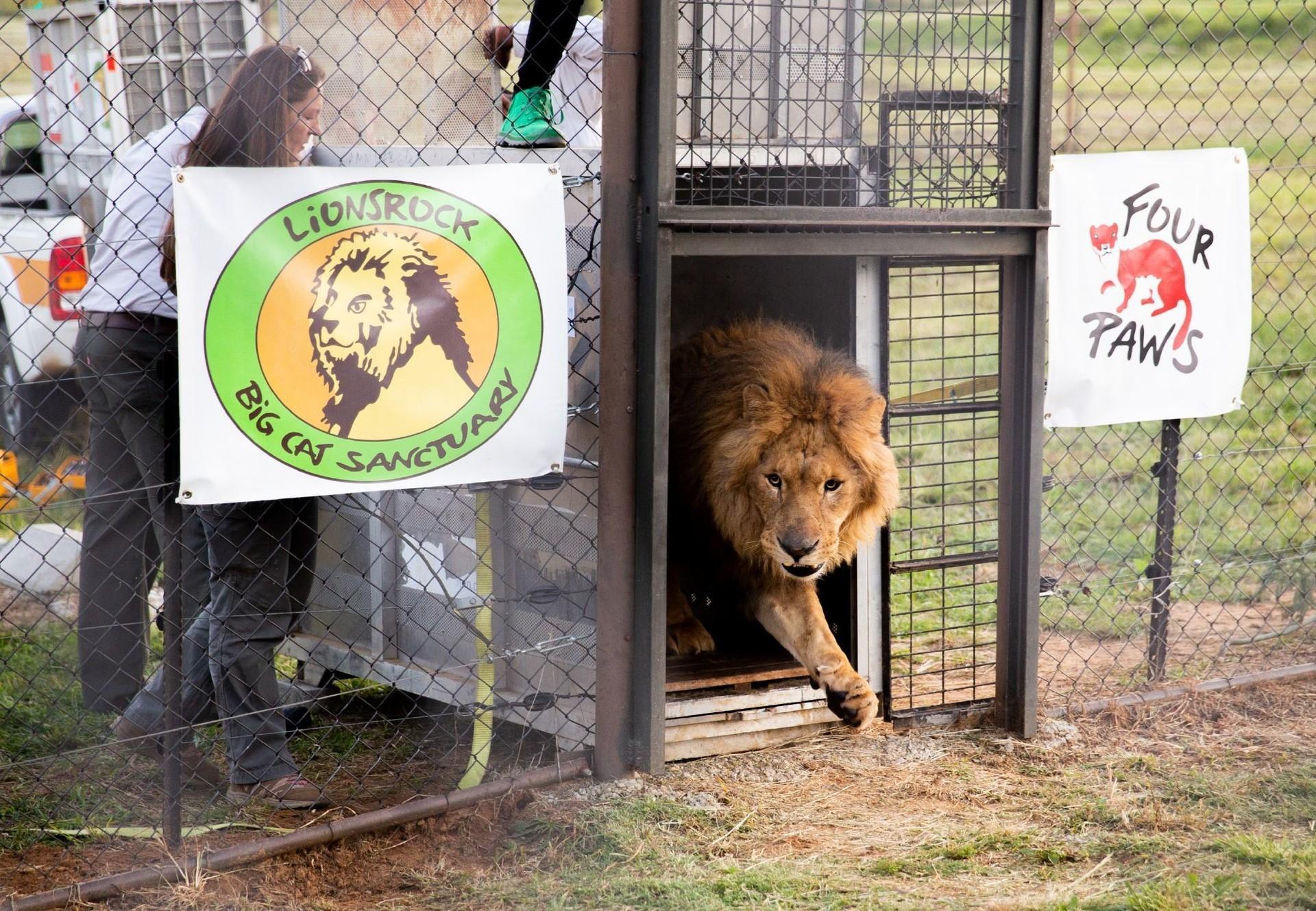 Geretteter Löwe erreicht das Grosskatzenschutzzentrum Lionsrock