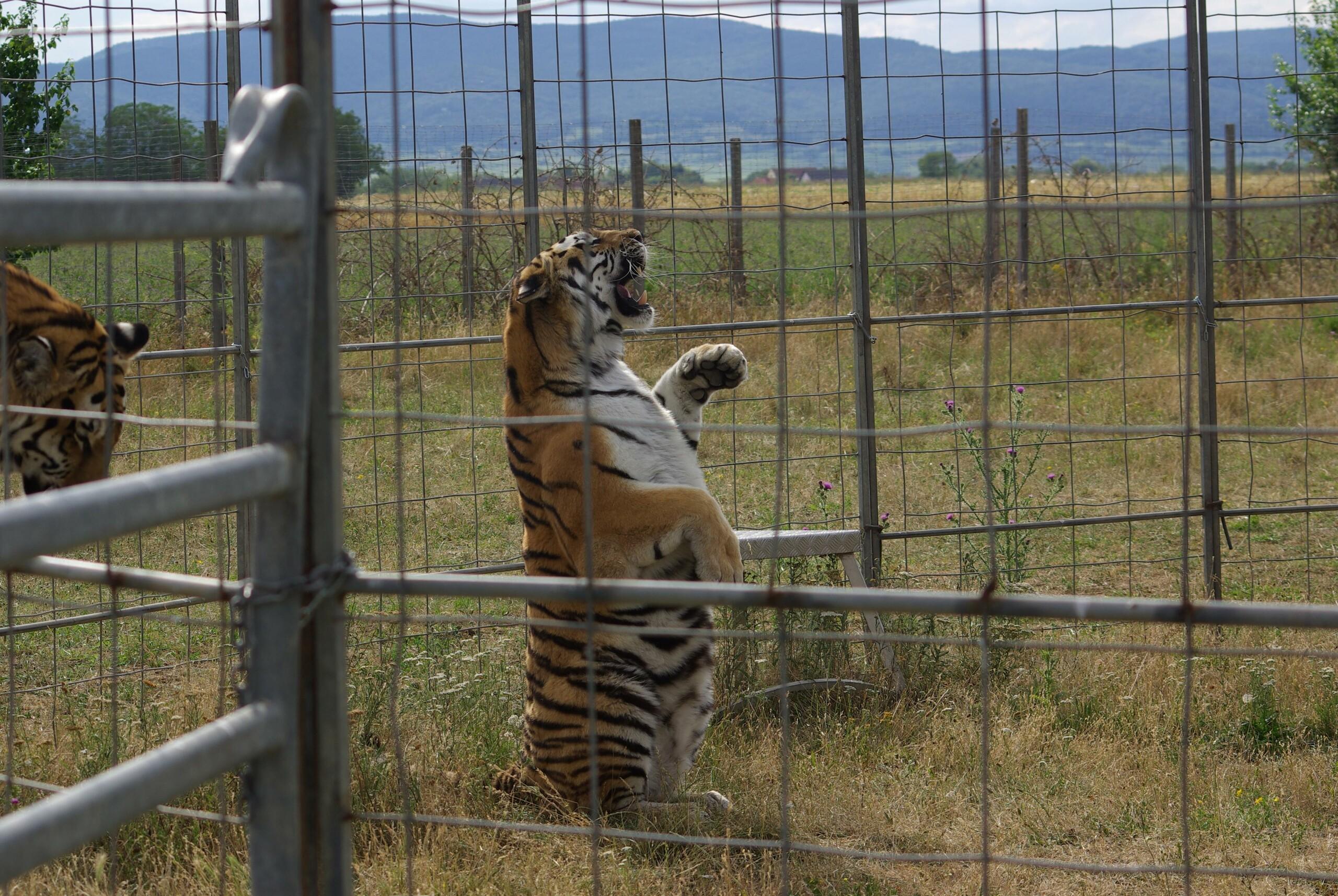 Tigerin Jill beim Training