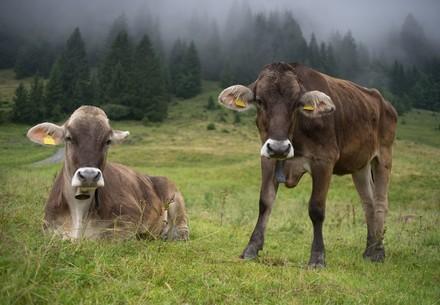 Rinder mit Hörnern auf der Weide