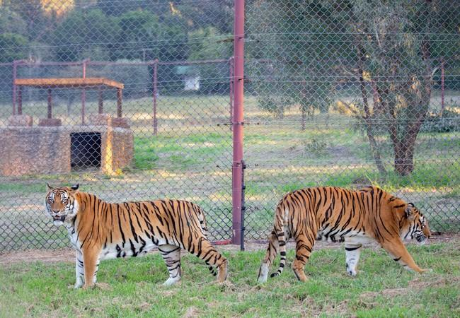 Two male tigers