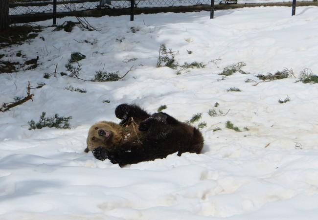 Bär Riku geniesst den Schnee