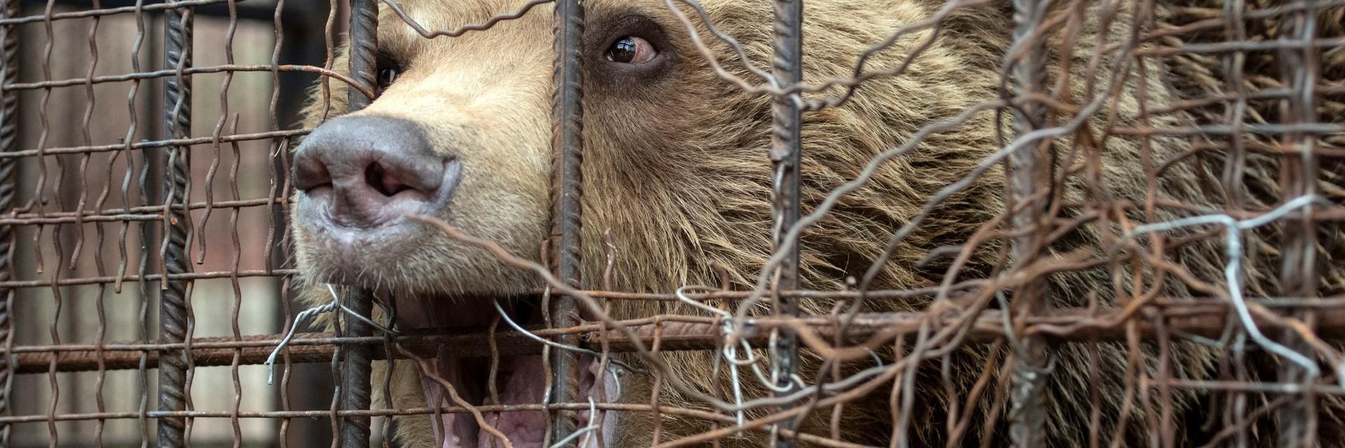 Bär Teddy in seinem winzigen Käfig