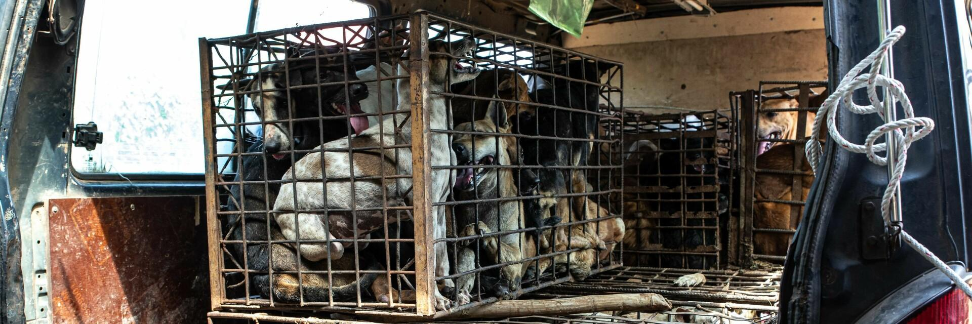 Dog and Cat Meat Trade
