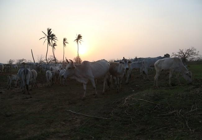 Cattle safe after the cyclone
