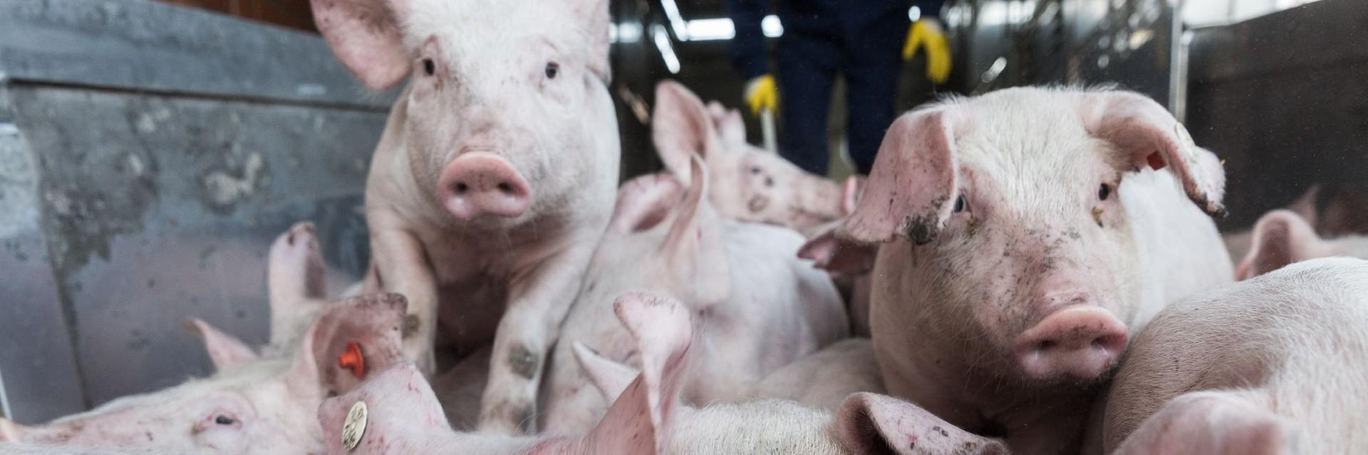 Pigs in live animal transport