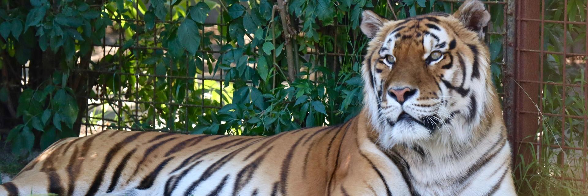 Tiger Caruso in 2018
