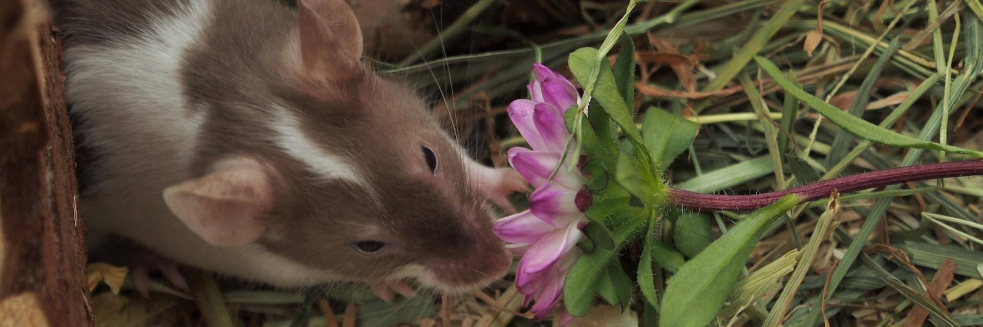 Pet mice snack between 15-20 times a da