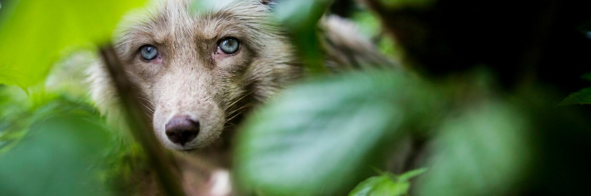 Zoe the fox