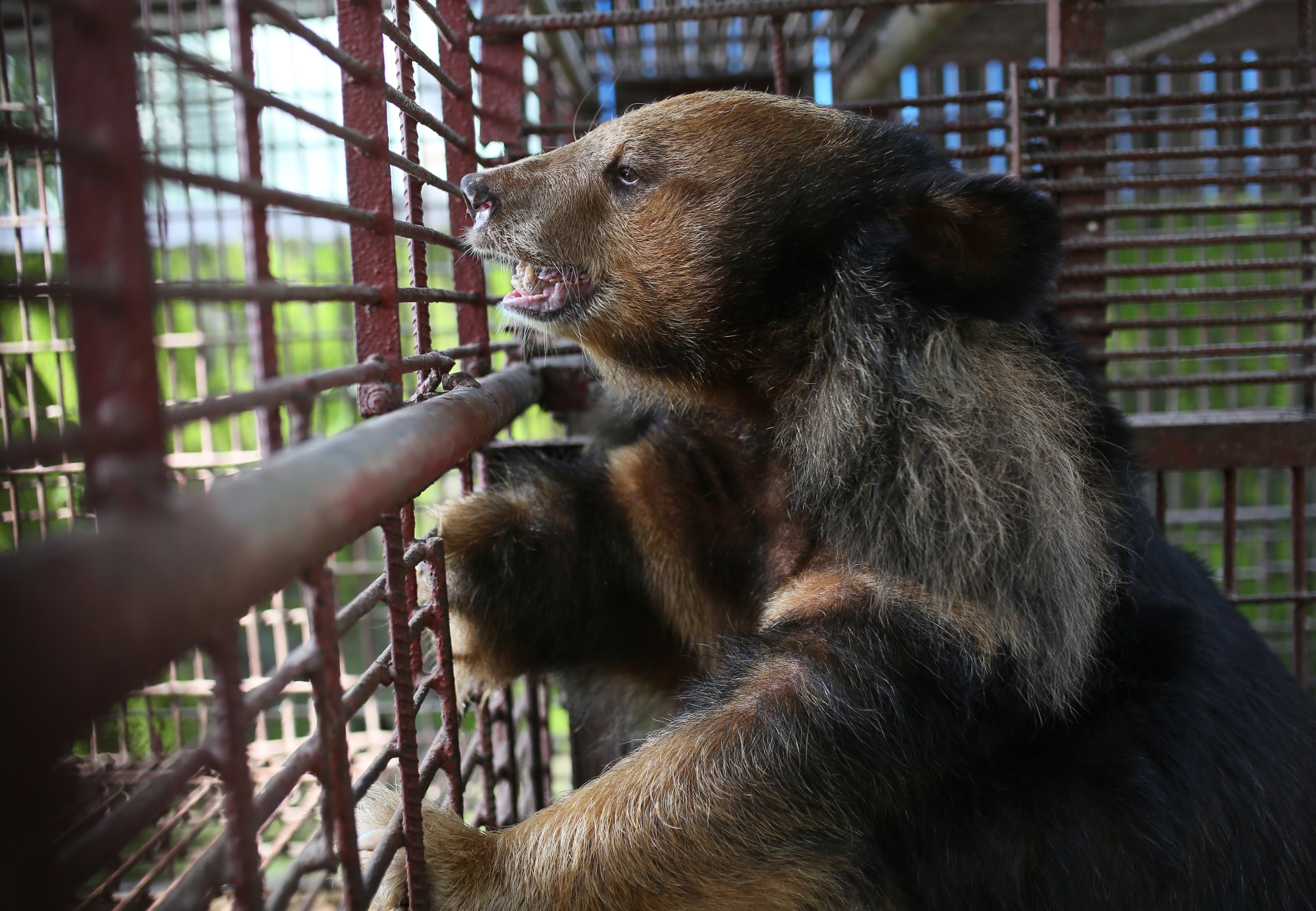 7 bile bears rescued