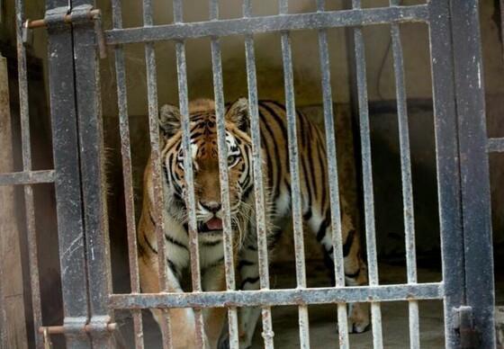 Tigress in Haskovo zoo in Bulgaria