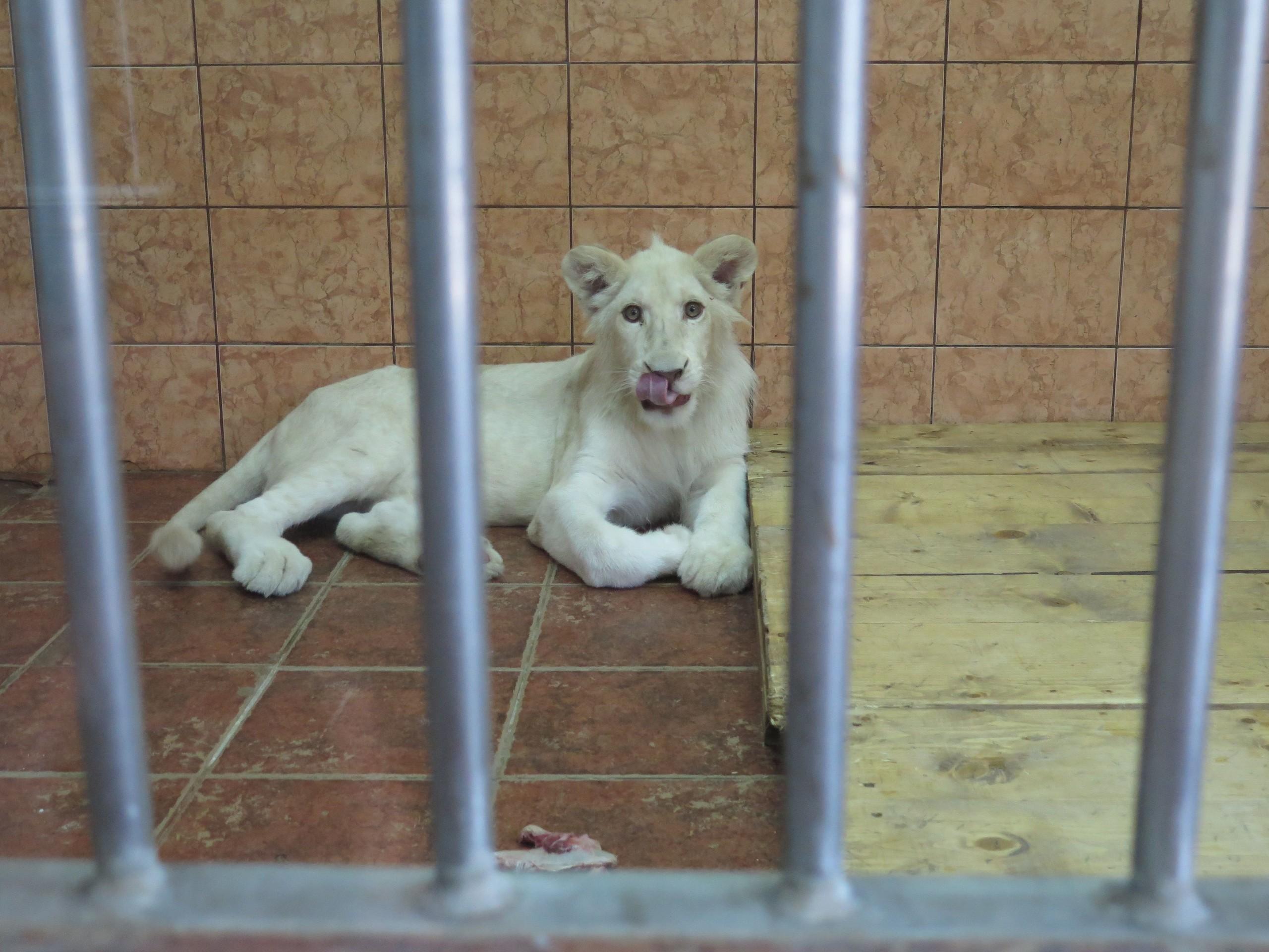 Weisses Löwenjunge im Zoo