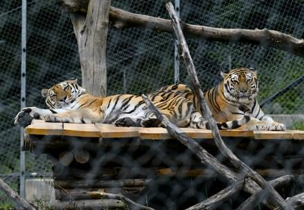 Tiger Jill und Sahib
