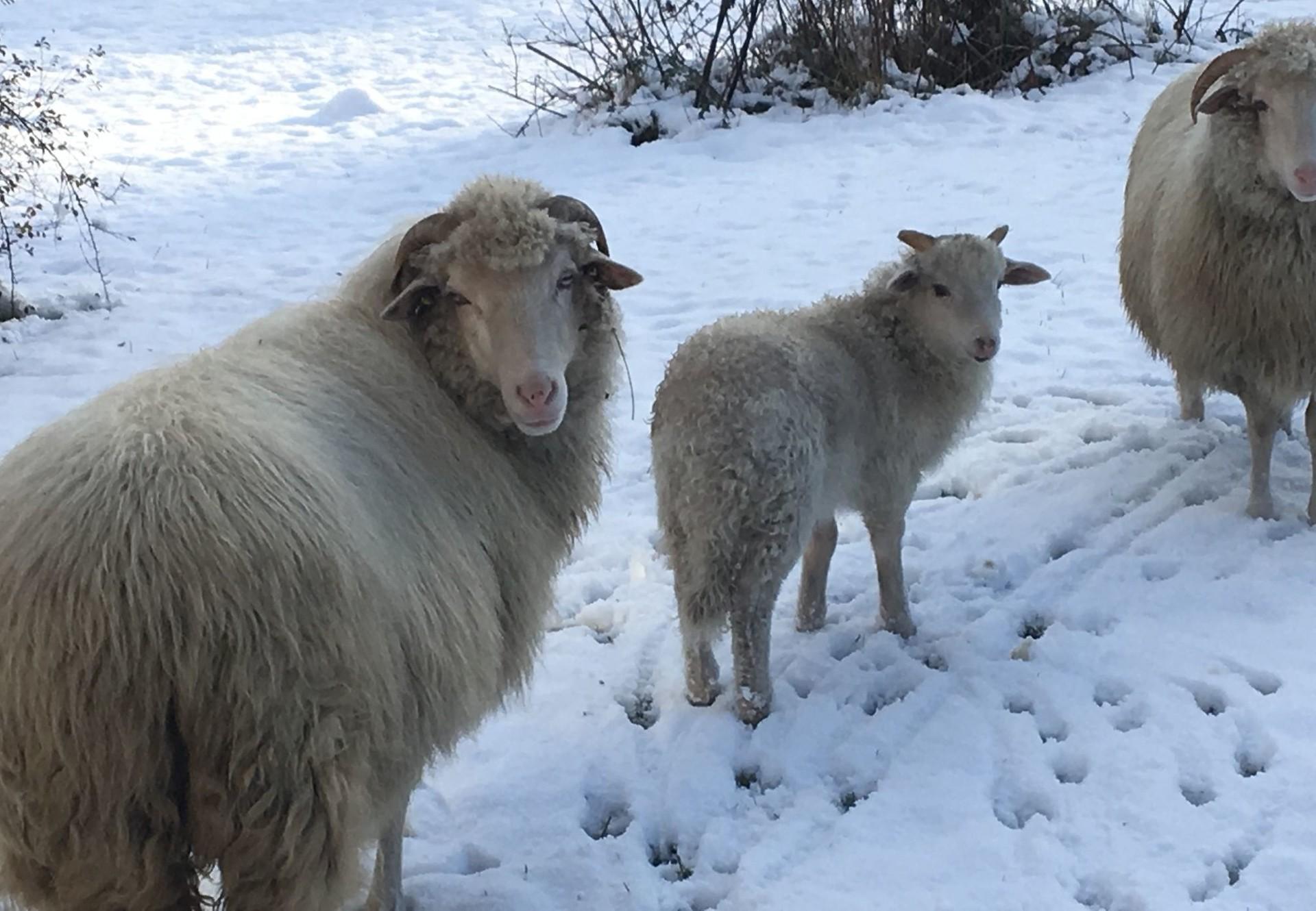 Happy sheep on show