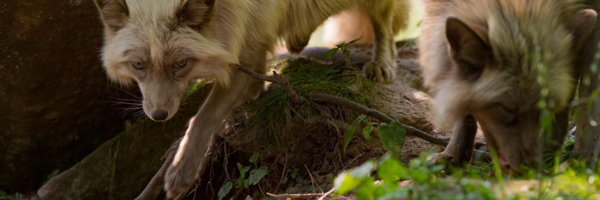 Füchse in TIERART