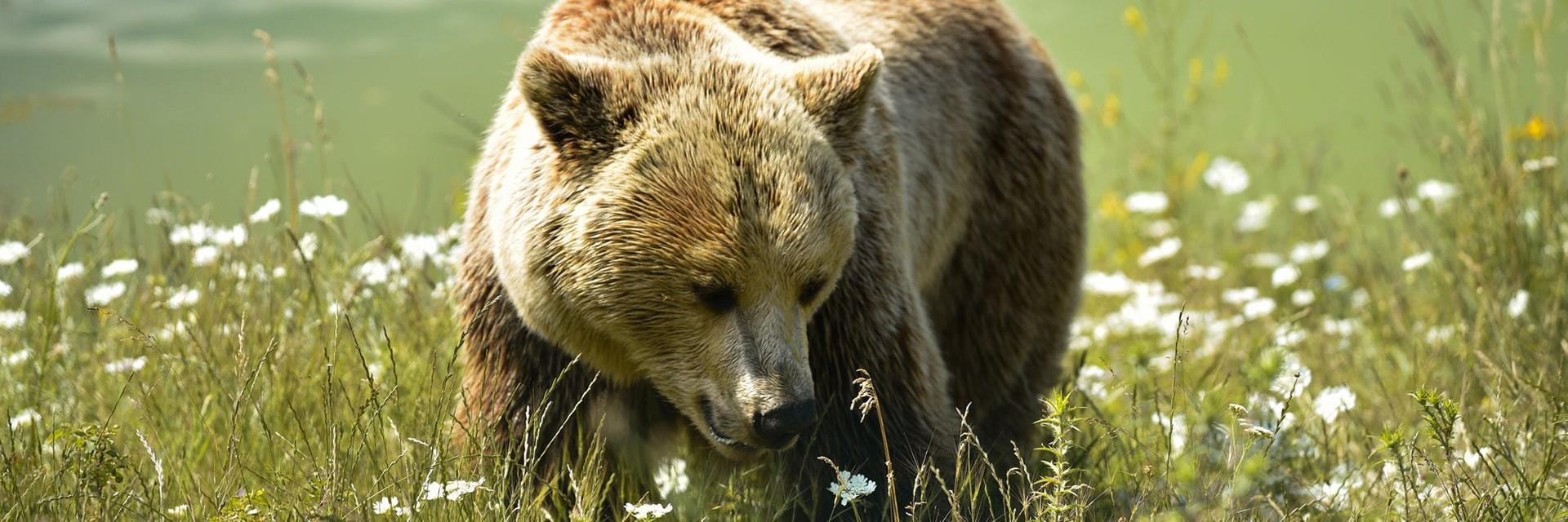 Bear Mira at BEAR SANCTUARY Pristhina, Kosovo