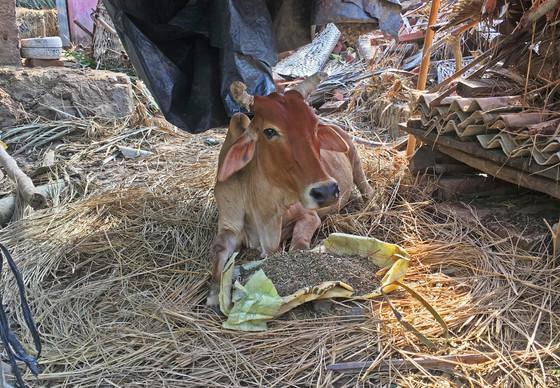 Kuh wird aus dem zerstörten Gebiet gerettet