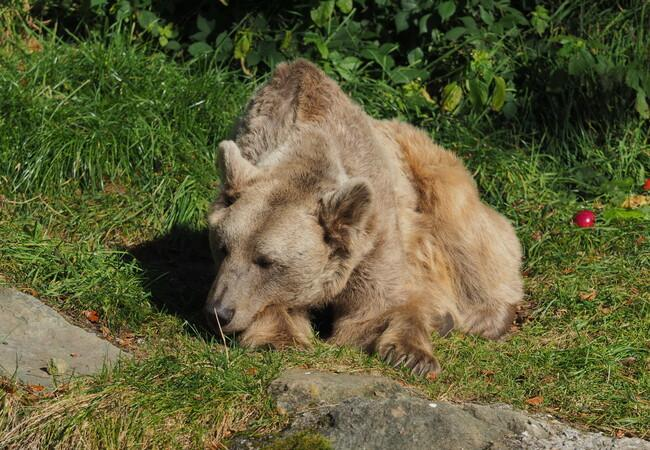 Bear Tom is taking a nap in the sun