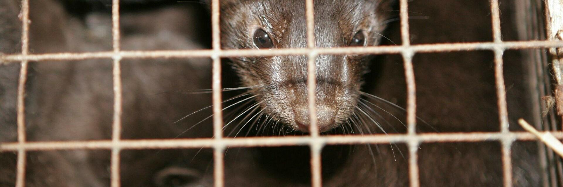 Mink in a small cage for fur